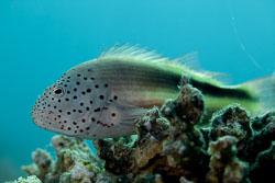 BD-150225-Tiran-6748-Paracirrhites-forsteri-(Schneider.-1801)-[Blackside-hawkfish].jpg
